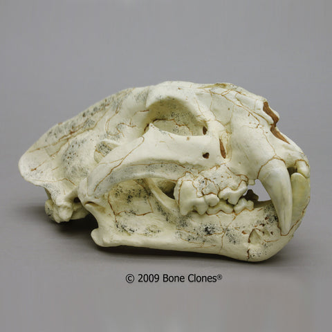 Cat Skull (Longdan Tiger) Cast Replica - Panthera zdanskyi #BC-294
