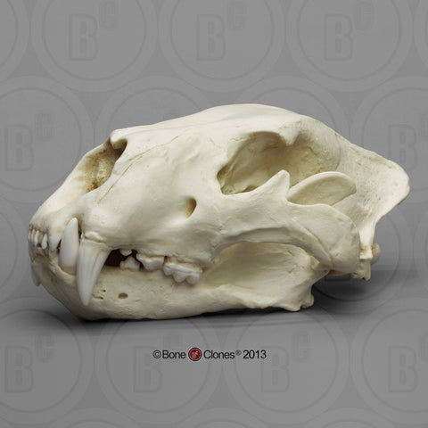 Cat Skull (American Lion) Antique Finish Cast Replica - Panthera atrox #BC-019A