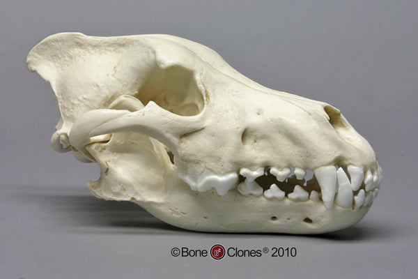 Wolf Skull (Dire Wolf) Antique Finish Cast Replica - Canis dirus #BC-020A