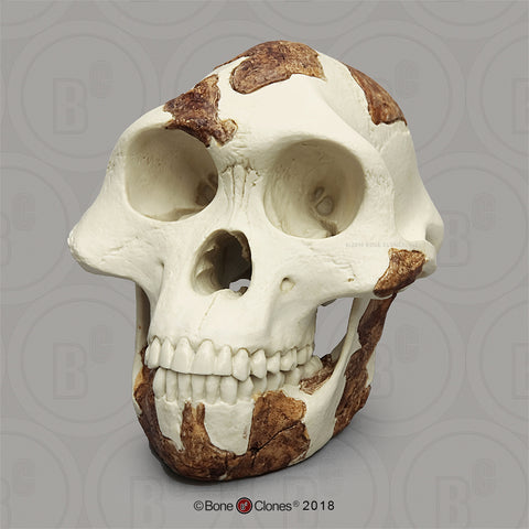 "Australopithecus afarensis (""Lucy"") light finish Skull #BH-021-A"