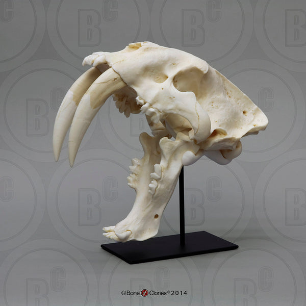 Cat Skull (Sabertooth Cat) Antique Finish Cast Replica - Smilodon fatalis  #BC-018A