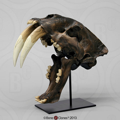 Cat Skull (Sabertooth Cat) Tarpit Finish Cast Replica - Smilodon fatalis  #BC-018T