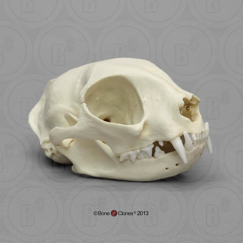 Cat Skull (Domestic Cat) Cast Replica - Felis catus #BC-131