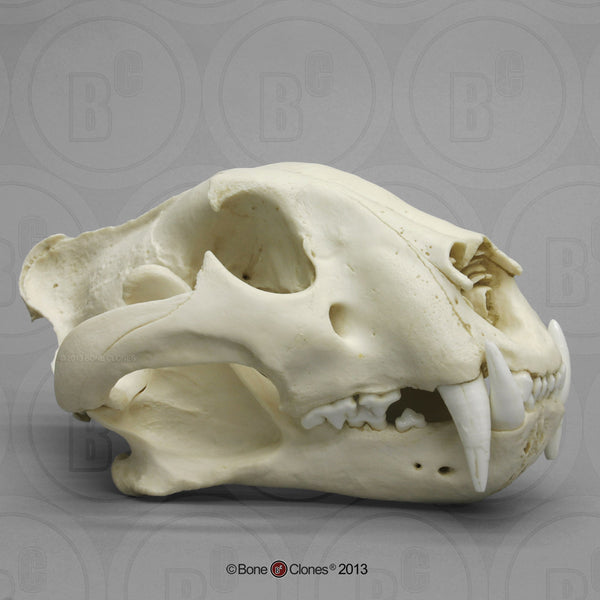 Cat Skull (Bengal Tiger) Cast Replica - Panthera tigris tigris  #BC-289