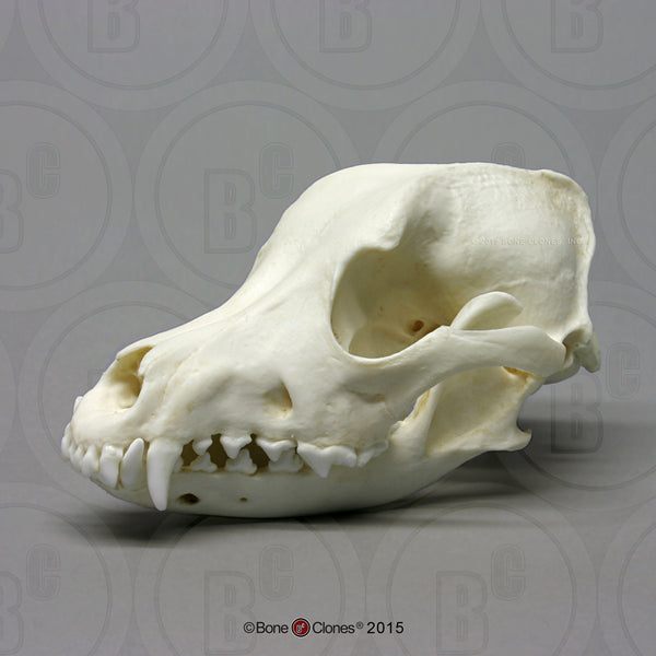 Dog Skull (Airedale) Cast Replica - Canis familiaris #BC-127