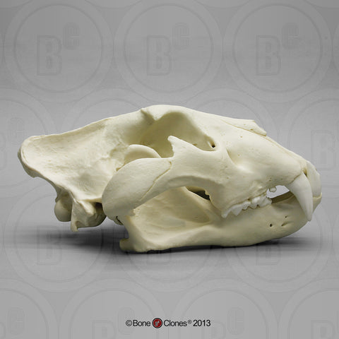 Cat Skull (African Lion) XL Cast Replica - Panthera Leo #BC-286