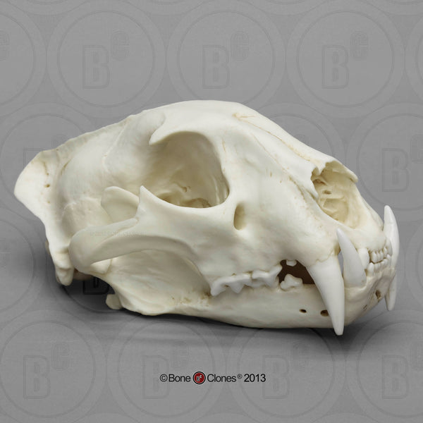 Cat Skull (African Leopard - male) Cast Replica - Panthera pardus #BC-060