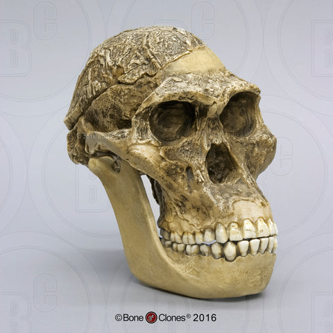 "Australopithecus africanus (STS 5 - ""Mrs. Ples"") Cast Replica Skull with reconstructed Jaws #BH-007-C"