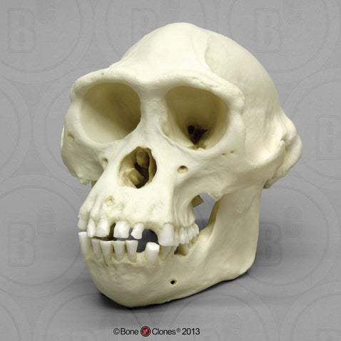 Bonobo Skull (male) Cast Replica - Pan paniscus #BC-252