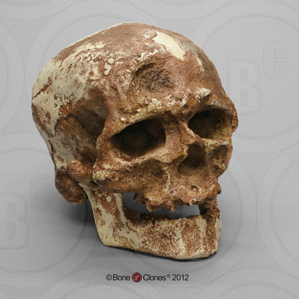 Homo sapiens (Cro-Magnon 1) Cast Replica Skull with Jaw #BH-017-C