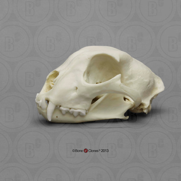 Cat Skull (Cheetah - male) Cast Replica - Acinonyx jubatus #BC-079