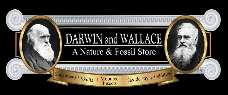 Darwin and Wallace: A Nature & Fossil Store