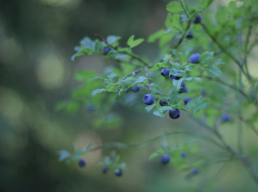 METTÄ wild blueberry