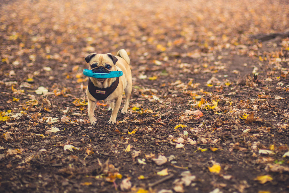 Dog walking in Hampton NH, a frisky pug holds a frisbee on his Scallywag Solo dog walk.