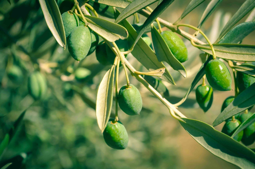 Olive Oil Prices to Rise As A Result of Drought in Mediterranean Region