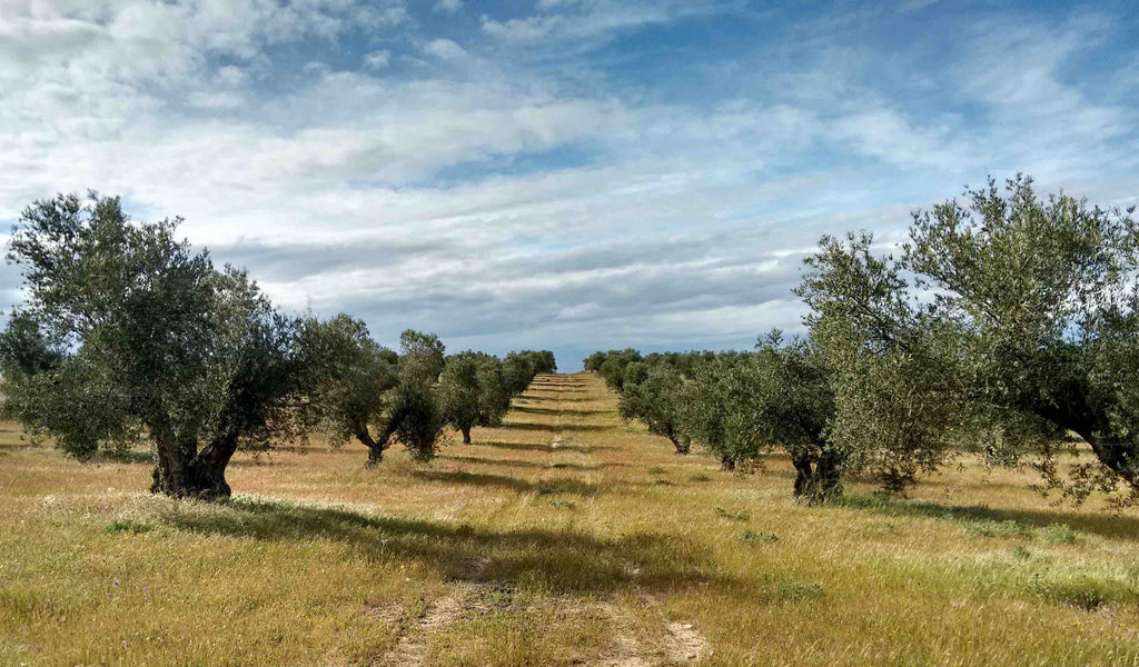 'Protectionist' US Measures Concern Spanish Olive Farmers