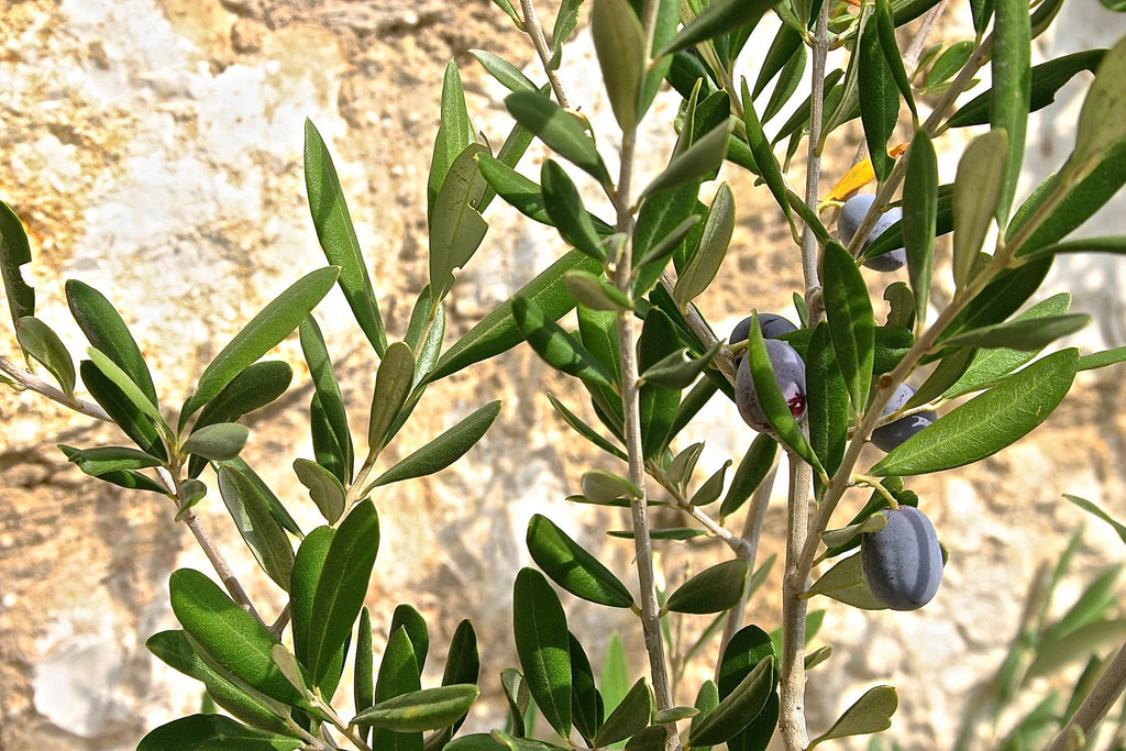 5 Essential Olive Oil Benefits For Your Hair, Skin & Face
