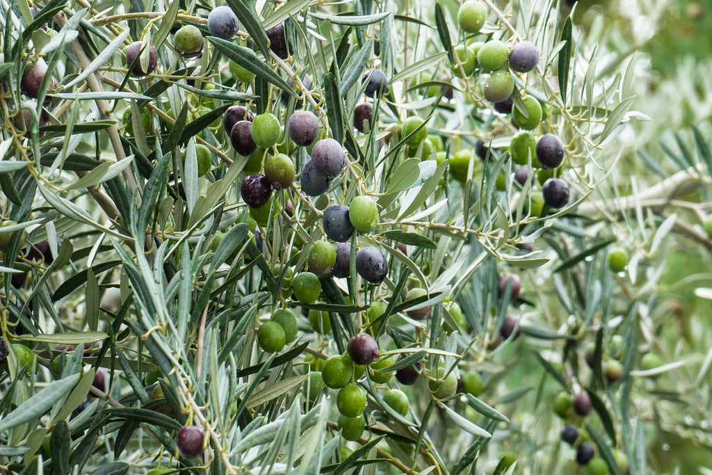 Some Incredible Health Benefits Of Olive Oil