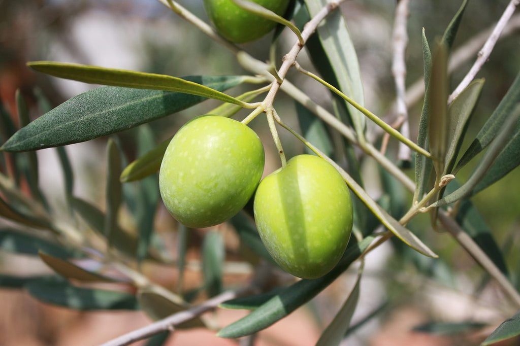 Getting To Know The Healthy Aspect Of Olive Oil