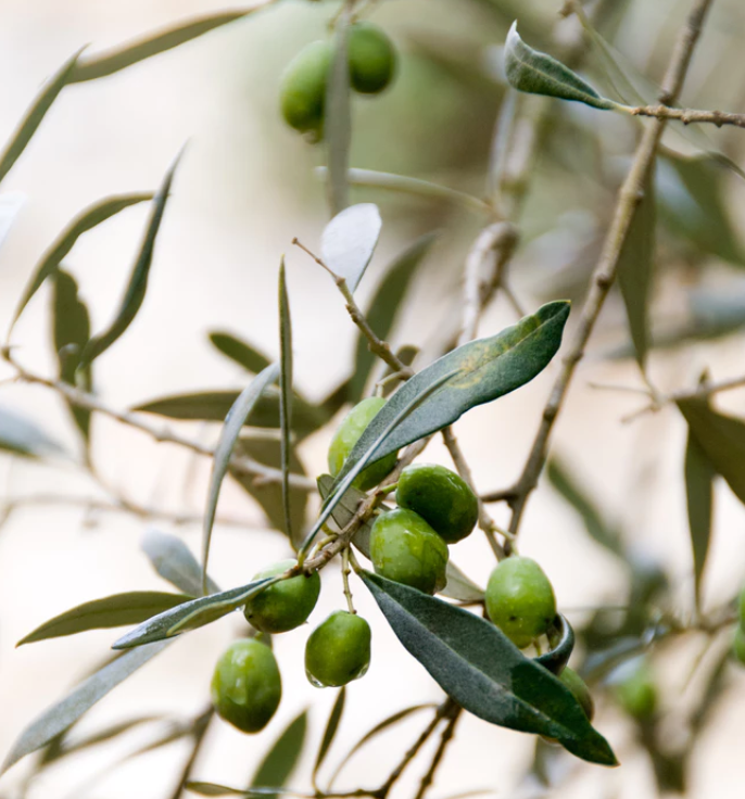 Incredible Reasons To Use Olive Oil