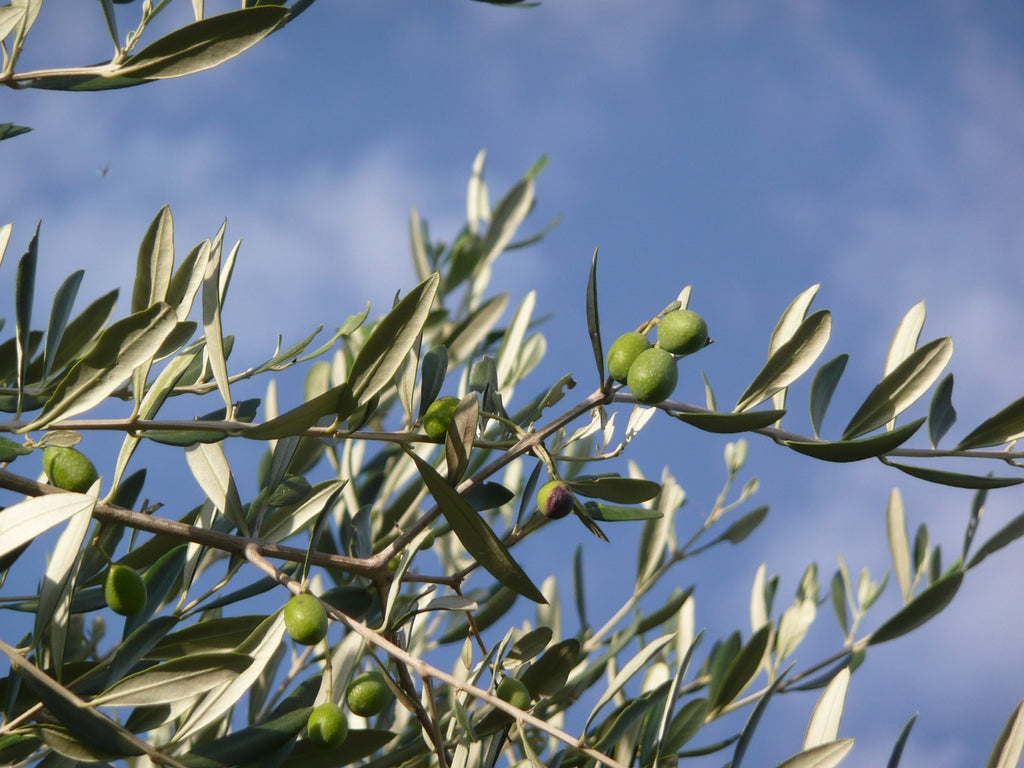 3 Essential Benefits Of A Daily Olive Oil