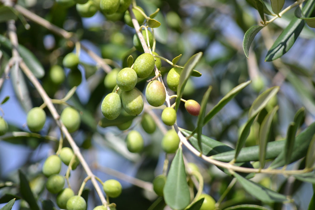 6 Incredible Reasons Why You Should Use Olive Oil