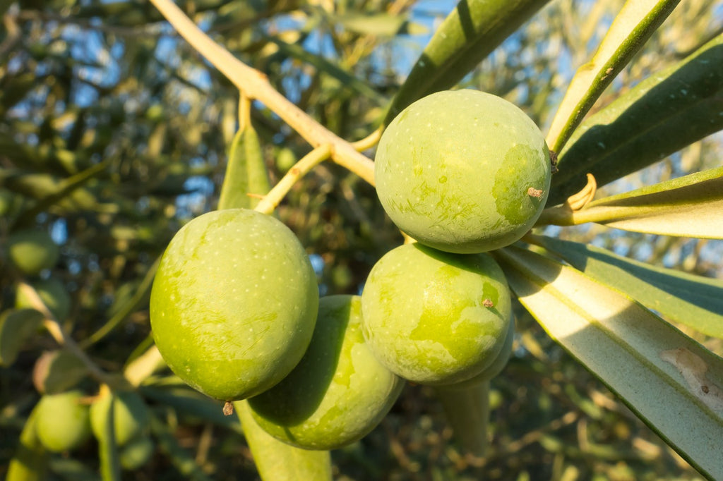 Learn How To Add Olive Oil To A Healthy Lifestyle