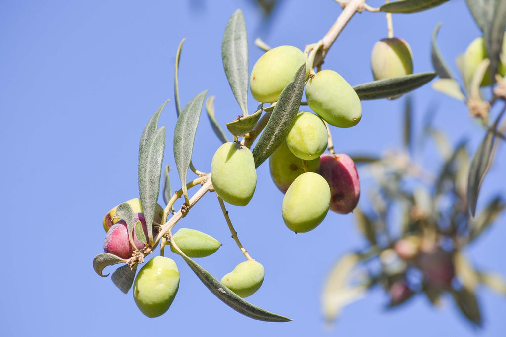 Understanding High Phenolic Olive Oil
