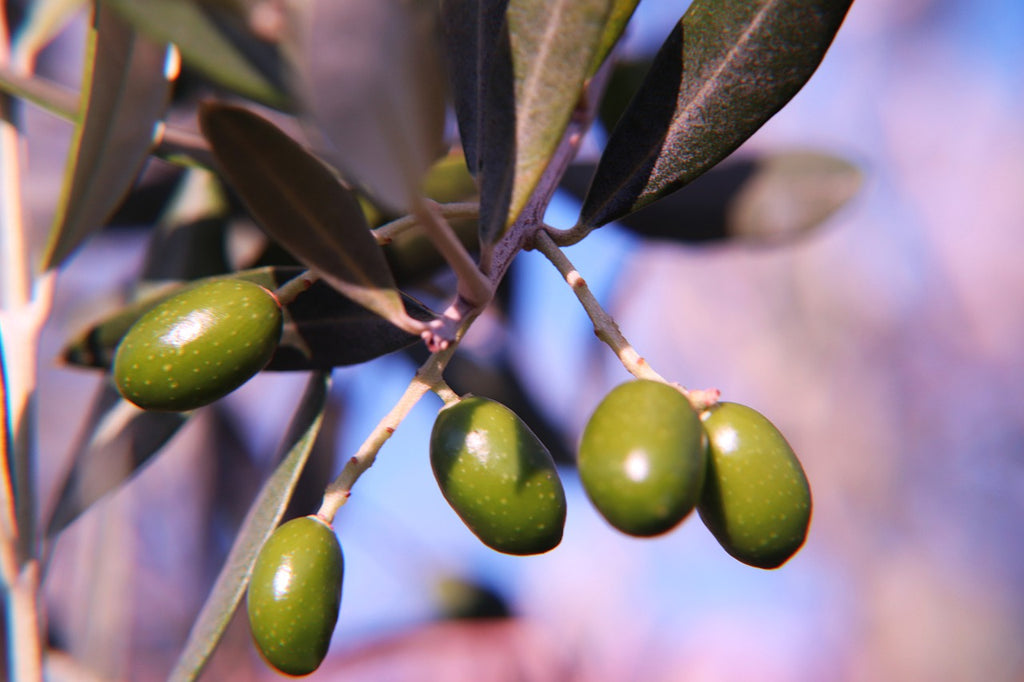 Benefits of Olive Oil For Your Health