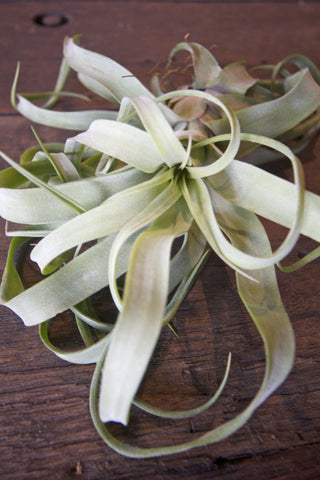 Streptophica Air Plant