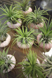 Sea Urchin And Air Plant
