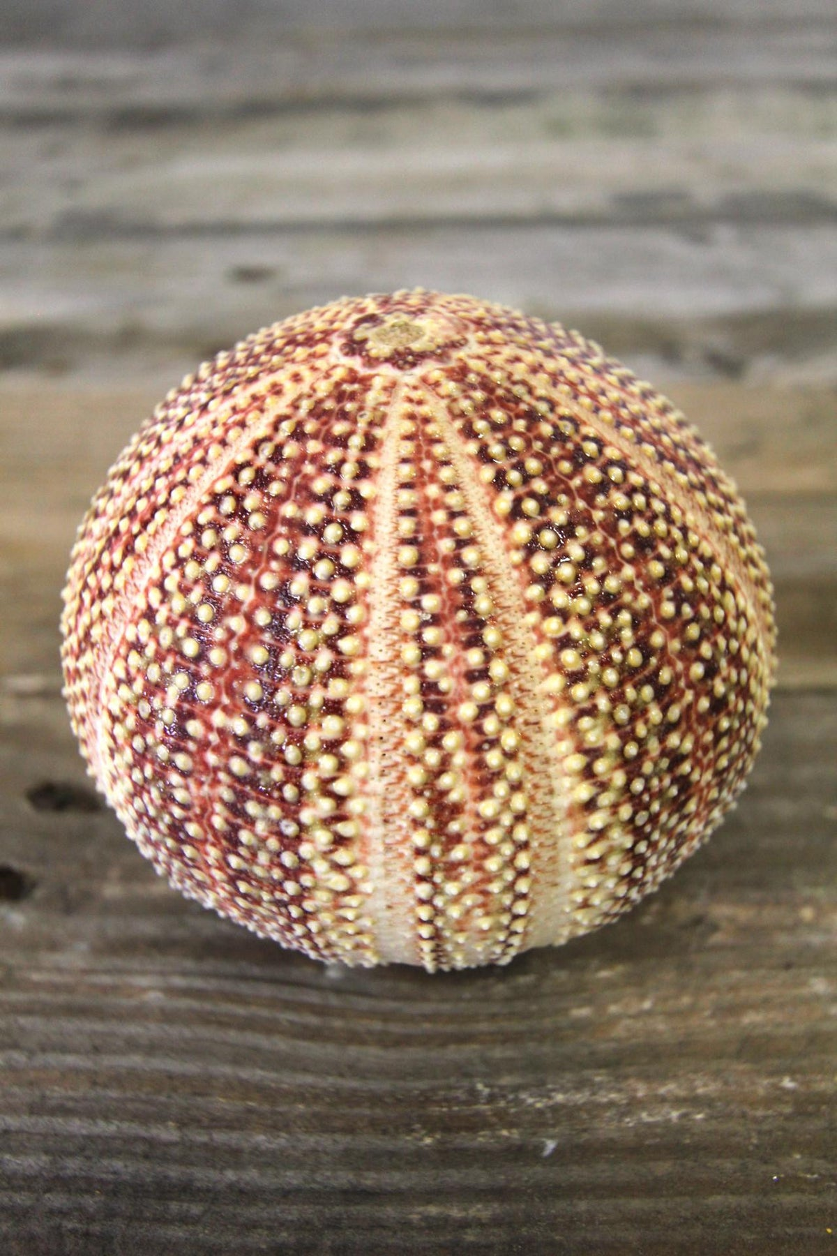 English Channel Sea Urchin