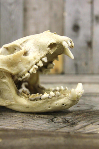 Antique Fox Skull