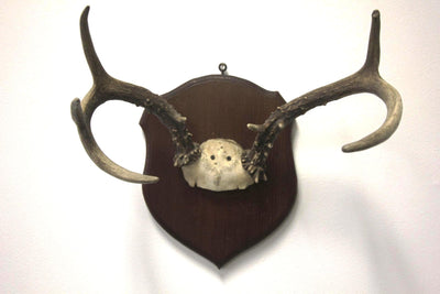 5 Point Deer Antlers Mounted 2