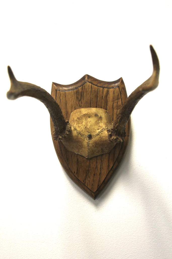 4 Point Deer Antler Mounted 2