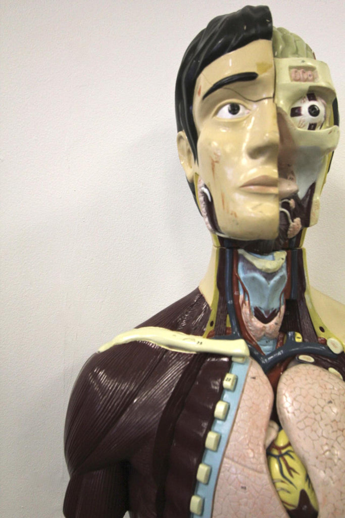Nystrom Anatomical Torso Model