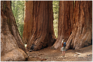 GELATO GLOBAL PRINT - Landscape Aluminum Print -  Mariposa Grove Redwoods - Yosemite National Park in CA USA