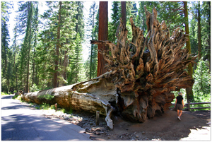GELATO GLOBAL PRINT - Landscape Aluminum Print - Mariposa Grove fallen sequoia   - Yosemite National Park in CA USA
