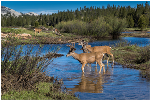 GELATO GLOBAL PRINT - Landscape Aluminum Print - Mule deer herd at Tuolumne Meadow - Yosemite National Park in CA USA