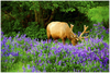 GELATO GLOBAL PRINT - Landscape Aluminum Print - Busy Elk in Redwood National & St. Parks - California USA
