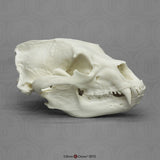 American Black Bear Skull (Replica)