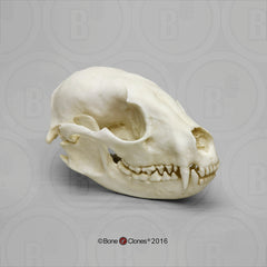 Raccoon Skull (Replica)