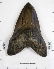 Carcharocles megalodon Tooth (Replica)