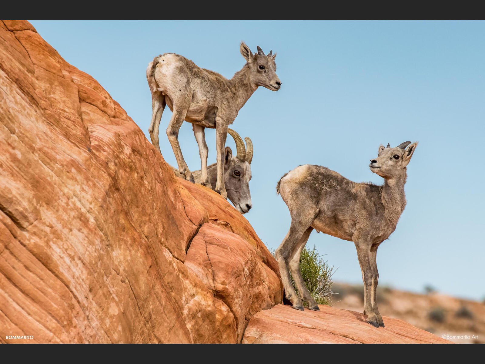 Little Bighorns