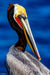 Pelican of the Cove