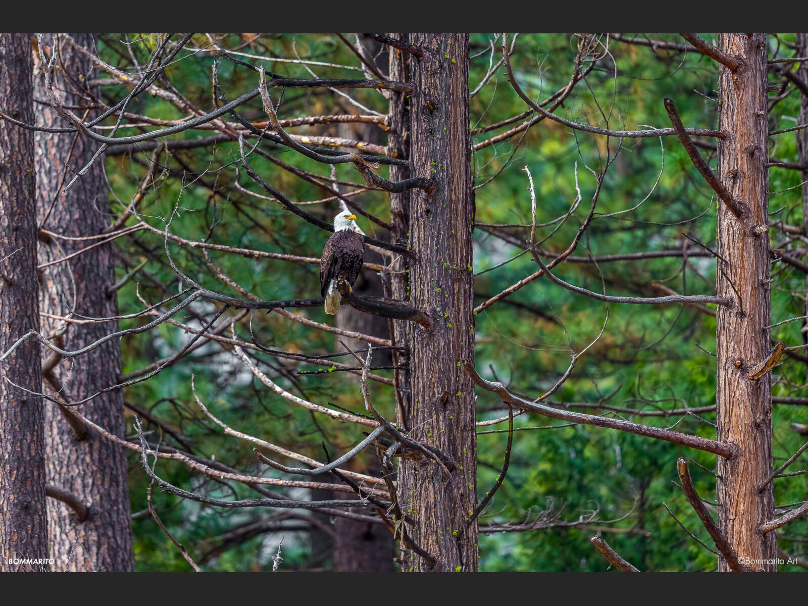 Yosemite Bald Eagle