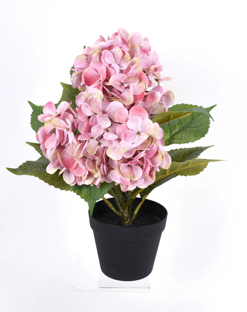 Pink Hydrangea x3, Potted, 20""