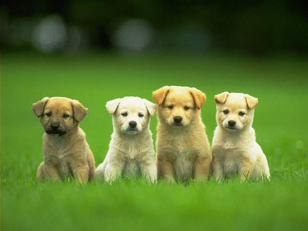 4 cute puppies