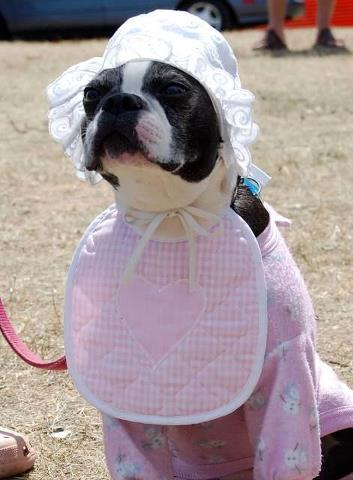 Dog Costume boston terrier