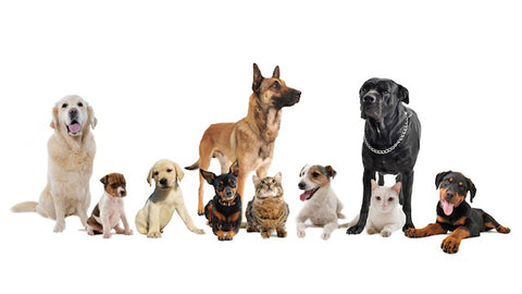 Hypo Allergenic Dogs